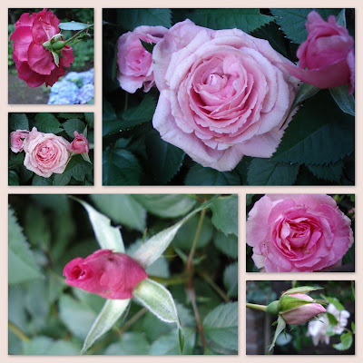 Een Roos Is Een Roos Is Een Roos Rozen Gezegdes