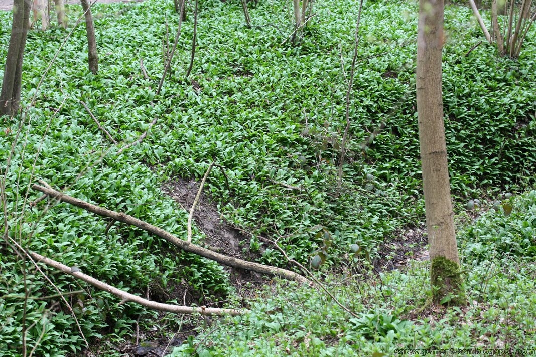 Sauvagement bon tapis vert - L ail de l ours ...