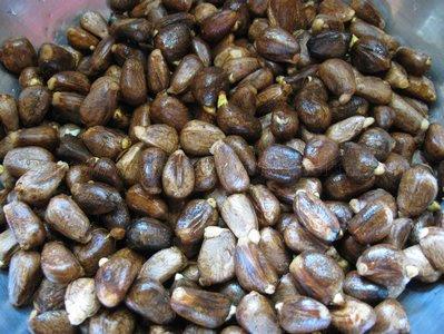Boil Chataigne (Breadnut)