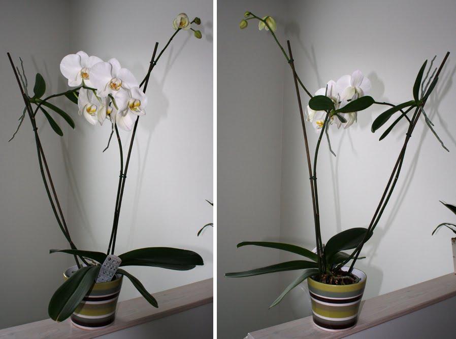 Orkidea Keiki