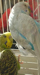 The Budgies