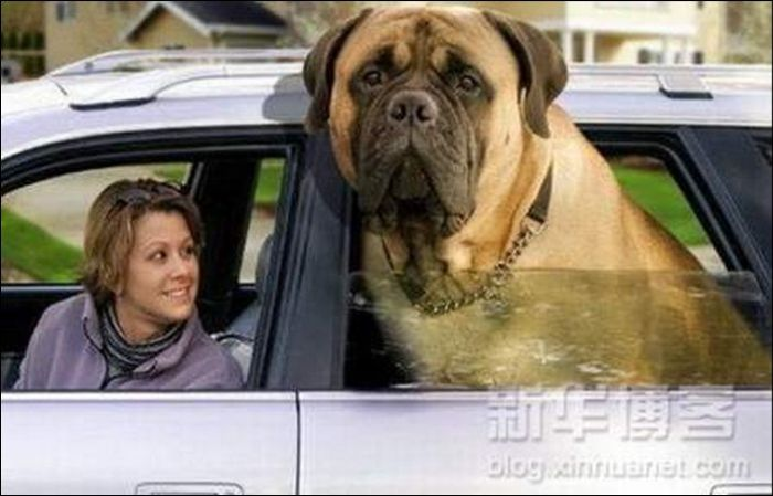 Giant Dog Seen On www.coolpicturegallery.us