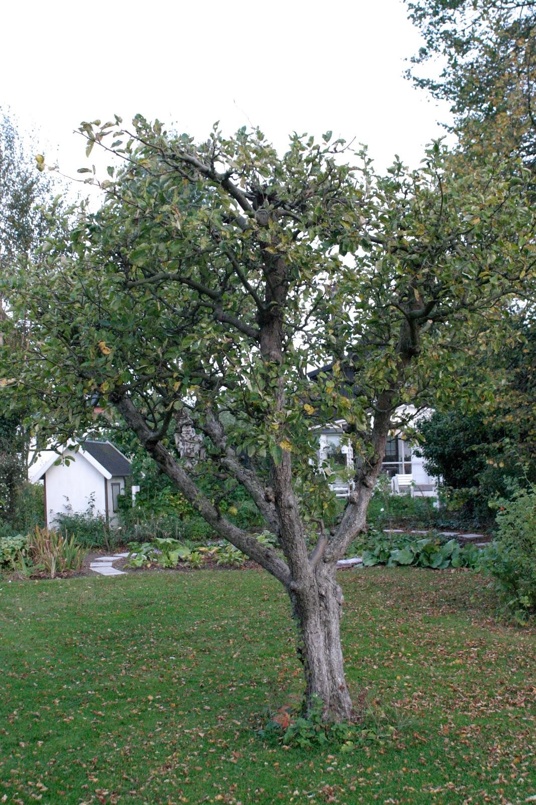 beskärning äppelträd jas
