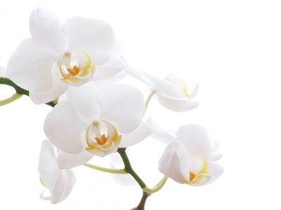 Single White Flower Wallpaper || White Flower Images Free ...