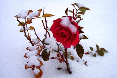 Beautiful snow roses hd images free download - Rose in snow wallpaper ...