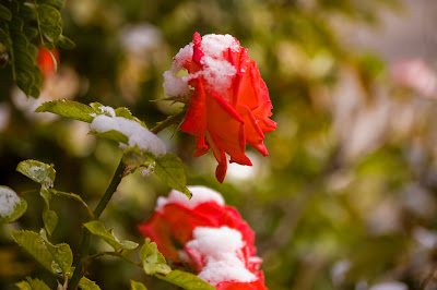 Free Desktop Wallpaper Cute Animals Beautiful Snow Roses Hd Images Free Download