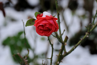 Cute Rose Wallpaper Beautiful Snow Roses Hd Images Free Download