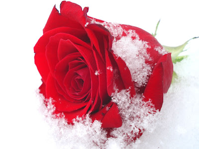 Desktop Wallpaper Quotes Love Beautiful Snow Roses Hd Images Free Download