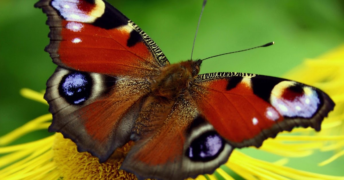 Cute Love Wallpapers Download Hd 6 Colorful Butterfly Wallpapers Butterfly Wallpapers