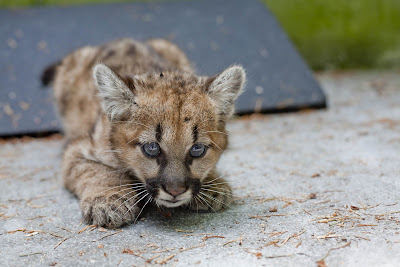How to draw a baby cougar