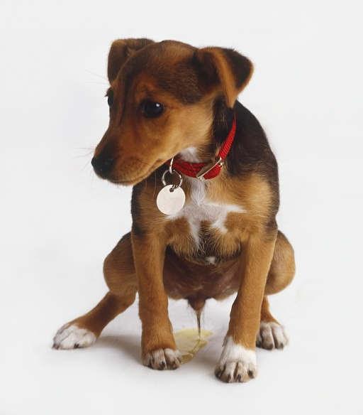 Fileunderi: Get Rid Of Dog Urine Odor And Cat Urine Smell