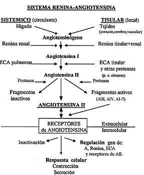 ¿Cómo aumenta el riñón la presión arterial a través de la secreción de aldosterona?