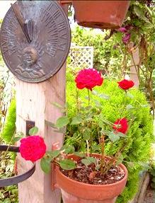 Organic Fertilizeranures Are Must For Roses In Pots Farmyard Manure Of Good Quality Is The Best Pot Other Alternative Well
