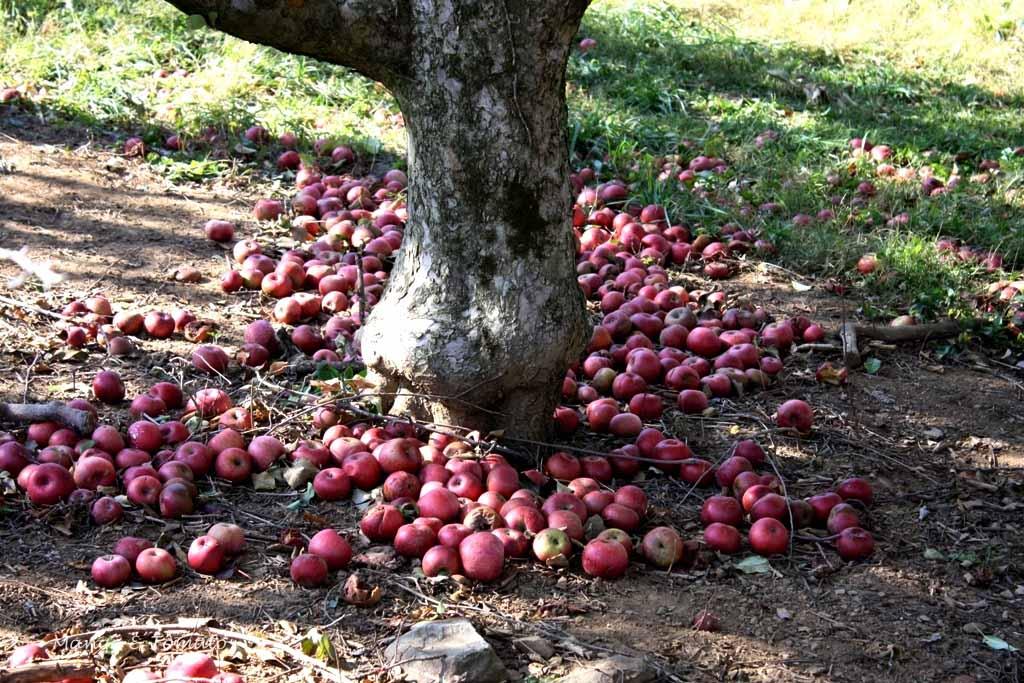 En doft av applen pa julita