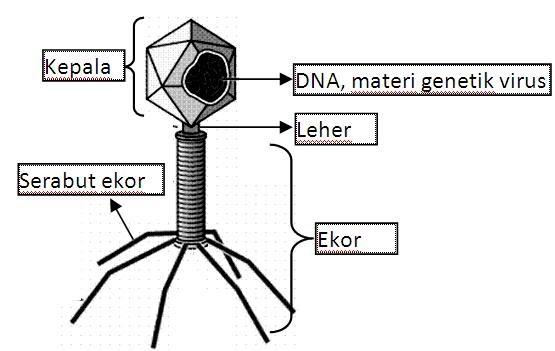 MaGic'BloG: Struktur, Bentuk tubuh, dan Macam-macam Virus