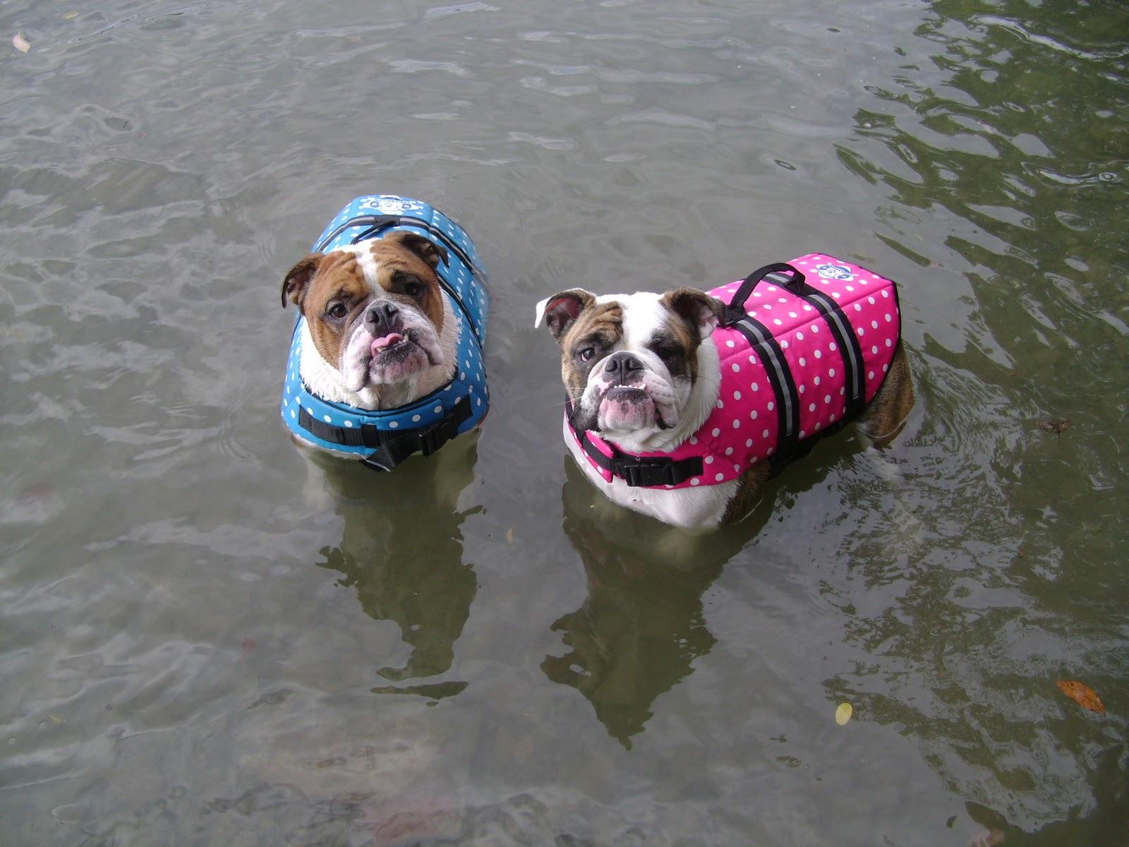 paws aboard testimonials swimming english bulldogs