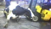 Cow Humane Society Animal Abuse