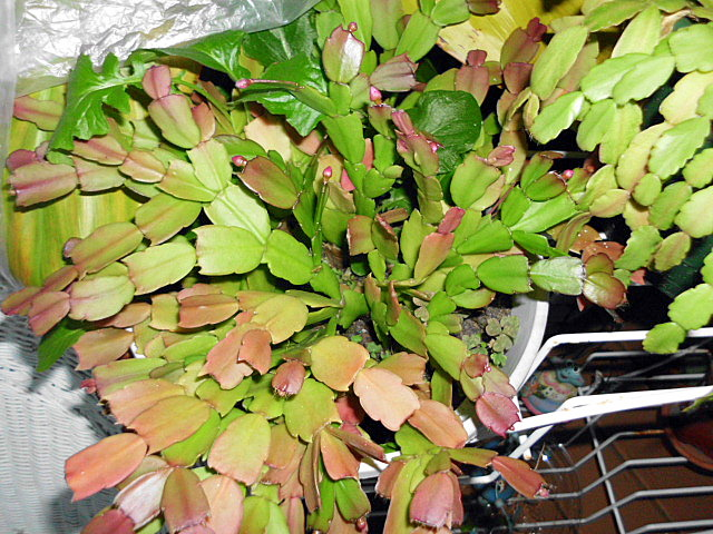 Christmas Cactus Diseases.Two Happy Early Blooming Cactus