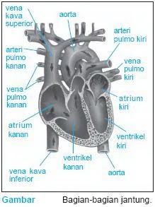 Tekanan Darah Saat Darah Meninggalkan Jantung Disebut : tekanan, darah, meninggalkan, jantung, disebut, Media, Belajar, Online:, Sistem, Peredaran, Darah, Manusia
