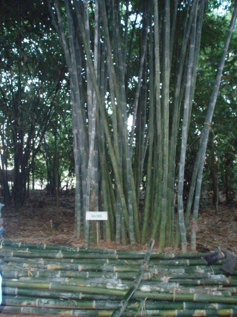 Kingdom 9 Golden Bamboo WE ARE THAI BAMBOO PLANTATOR