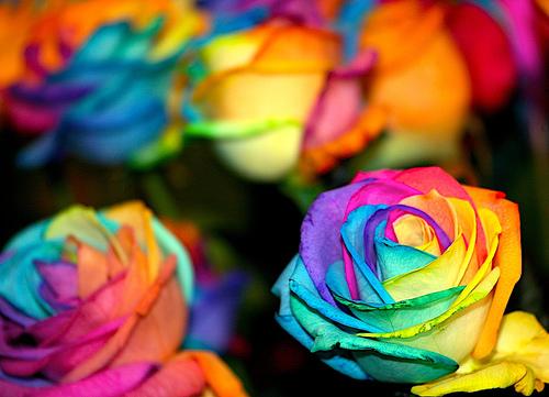 Bunga ros warna-warna pelangi
