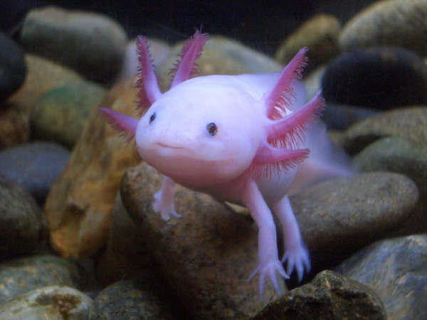 Axolotl by Ethan Hein from flickr (CC-NC-SA)