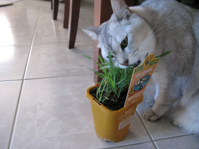 Cat grass om nom nom by chris.jervis from flickr (CC-NC)