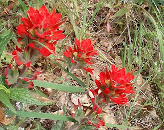 Indian Paintbrush wildflowers Stebbins Cold Canyon Reserve, Solano County, California