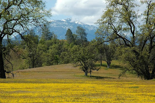 Yellowray Goldfields wildflowers in Indian Valley