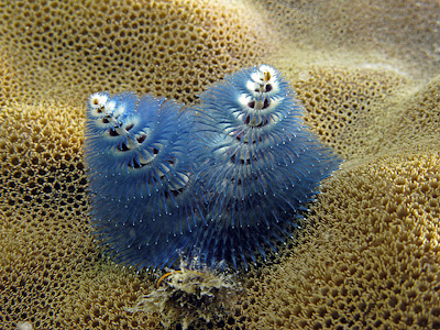 Christmas tree worm found at Lizard Island. Photo John Huisman, Murdoch University, 2008