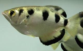 Ikan Hias: ikan sumpit