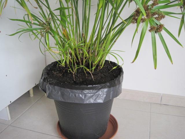 forums de jardinage afficher le sujet que faire apr s la floraison d 39 un papyrus. Black Bedroom Furniture Sets. Home Design Ideas