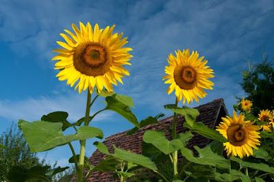 Giant sunflowers at attention, Hofstetten, Switzerland