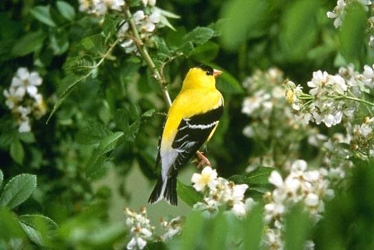 Goldfinch on North Carolina Cardinal Bird