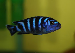 Fresh Water Aquarium Fish African Cichlids And Exotic Tropical Fish