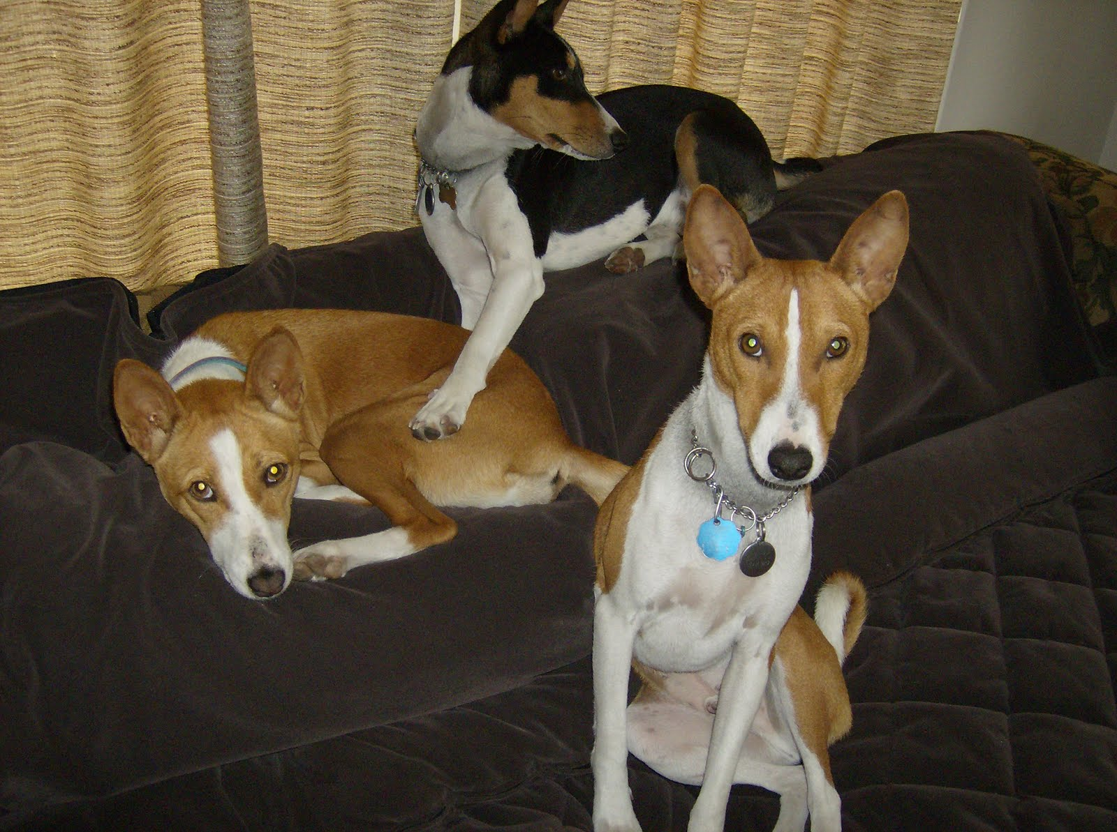 basenji rescue and transport blog success story belle shango ra
