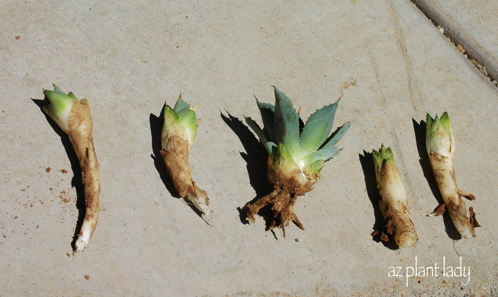 How To Plant Agave Pups Birds And Blooms