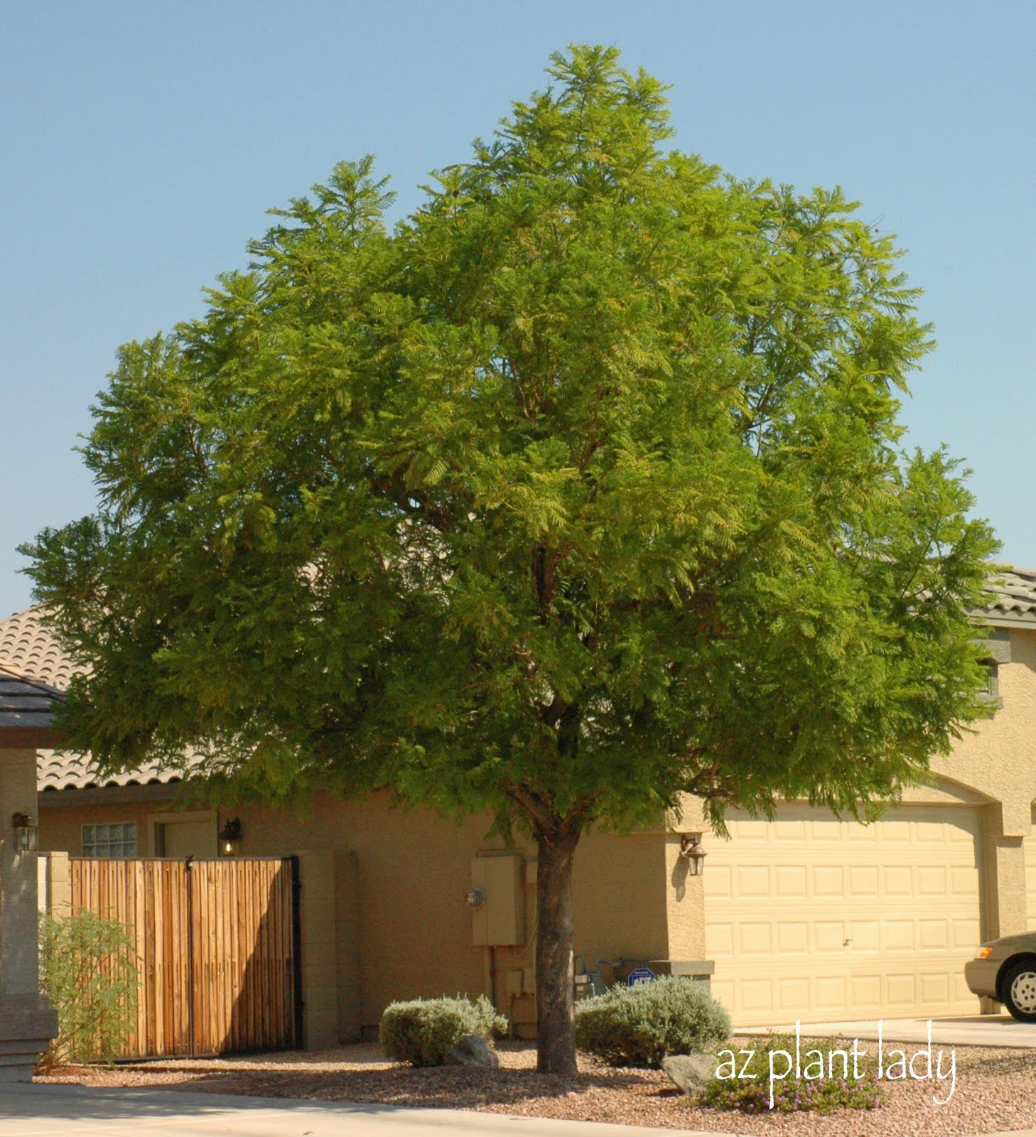 Jacaranda Mimosifilia Growing Up In Southern California