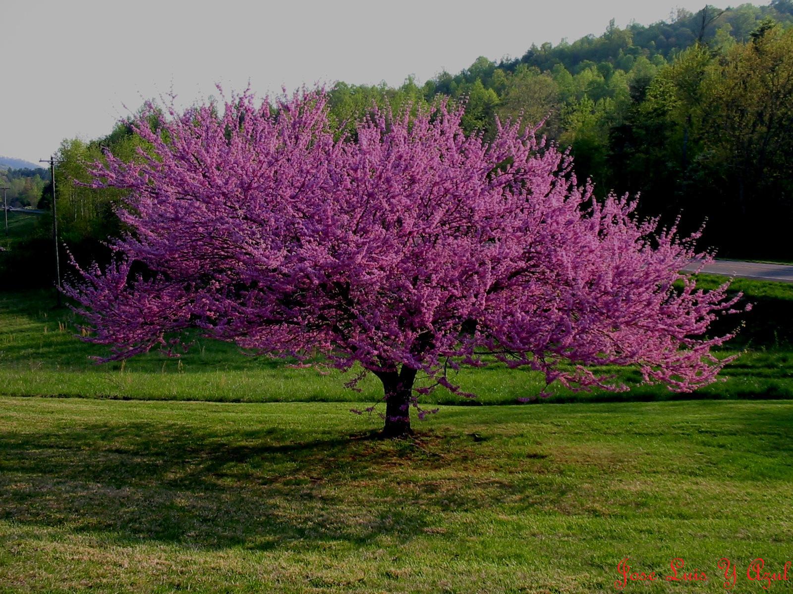 Imagenes de arboles rosas for Arboles para cierre de jardin