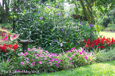 Photo From May 2007 Featuring Mexican Petunia In The Center Of A Backyard Flower Bed If You Look Closely Can See 4 5 Foot Stalks Are Being Held Up