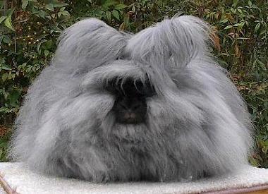 Hairy Rabbits 66