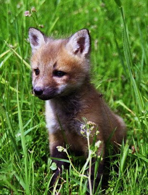 Cute Small Baby Fox Images   Baby Animal Pictures  Cute Small Baby...