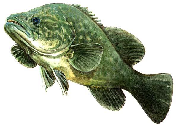 embracing bevin: The Cod and the Catfish