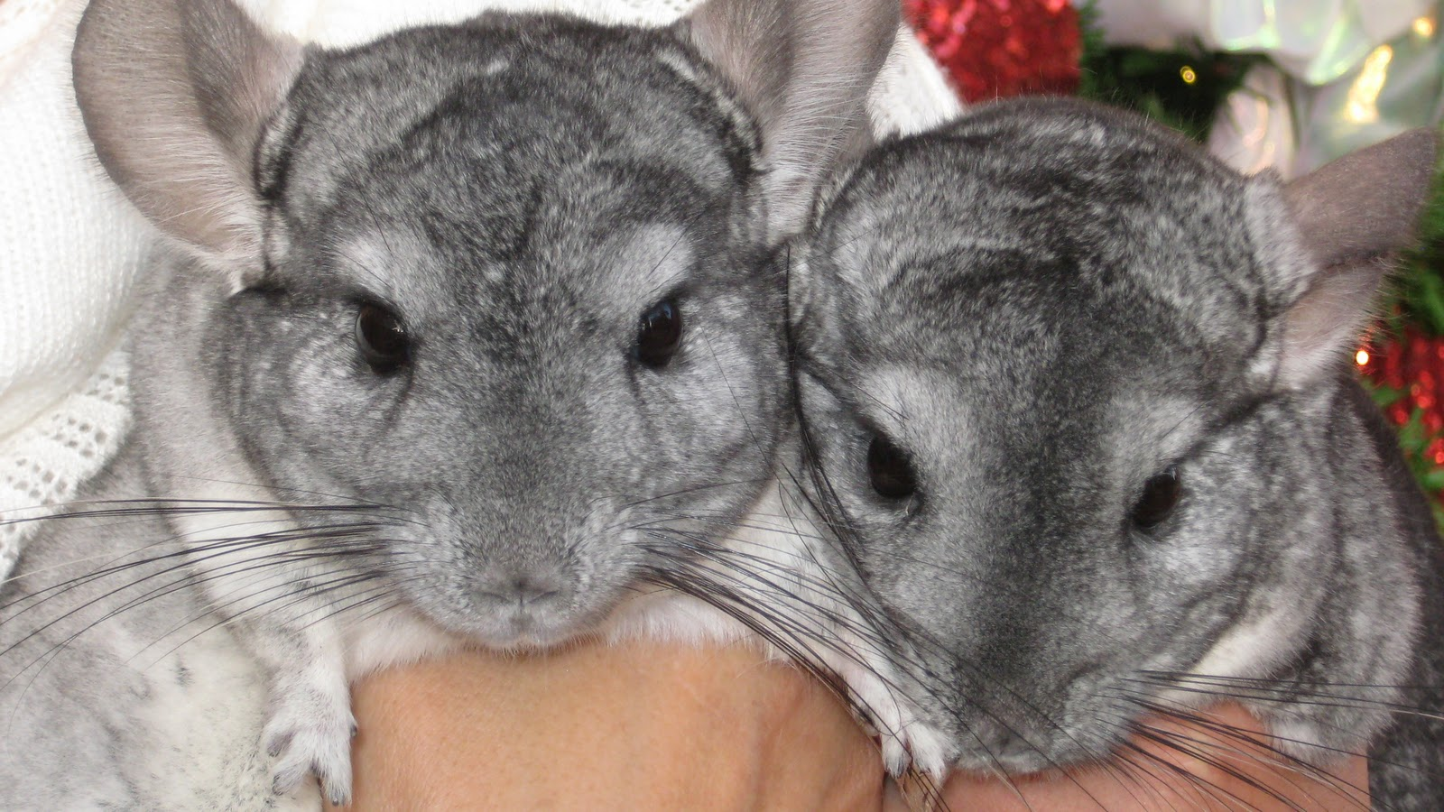 Chinchillas In The Wil...