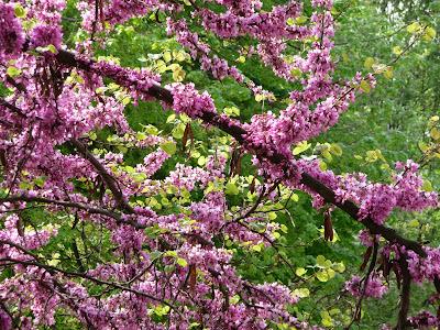 paris côté jardin: arbre de judee : fleurs sur tronc et branches