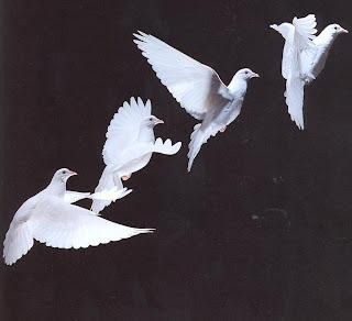 Doves (pombas)