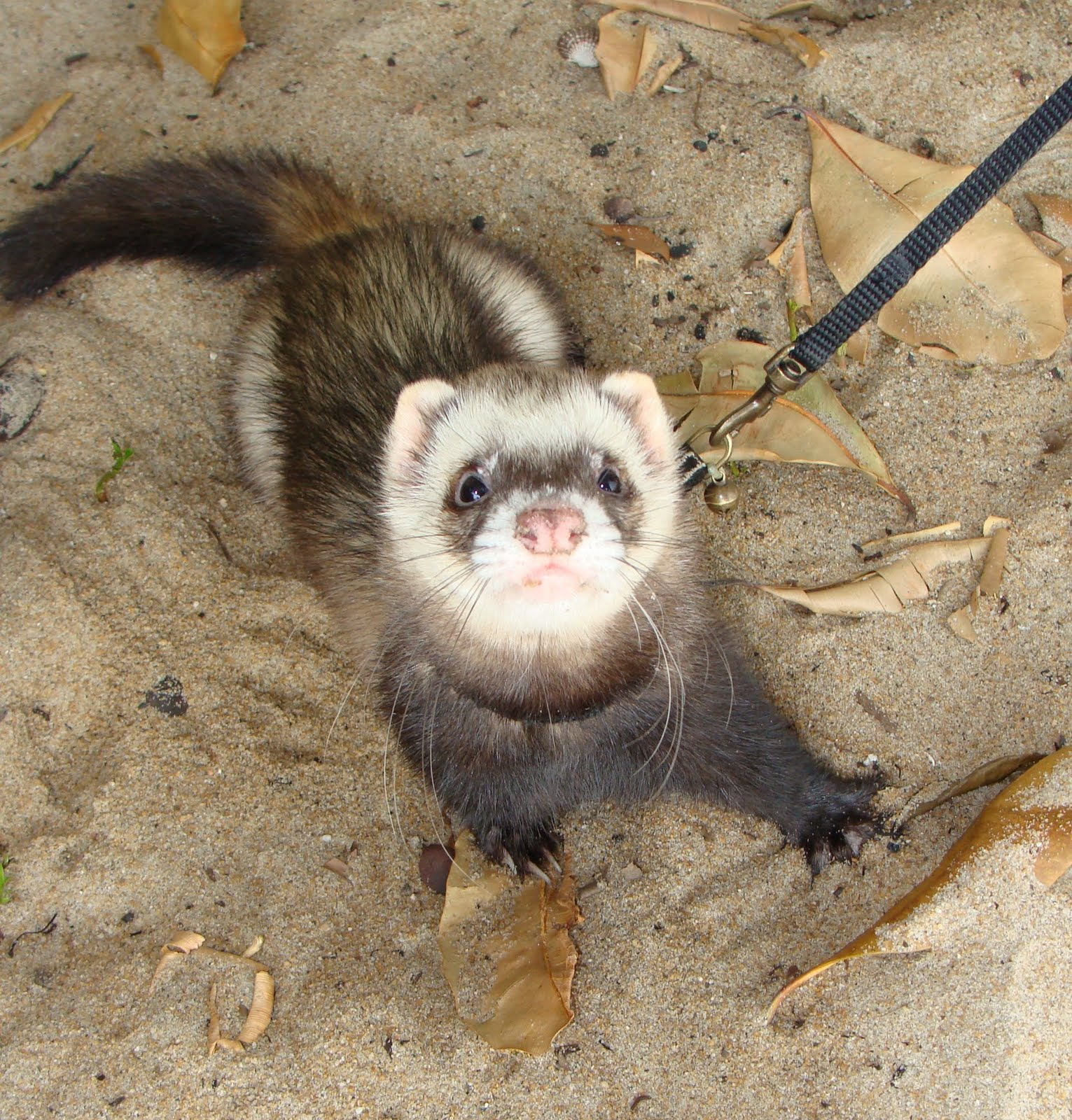 Special pose by Kaos the Ferret. A much mellow fellow than the feisty Disco.