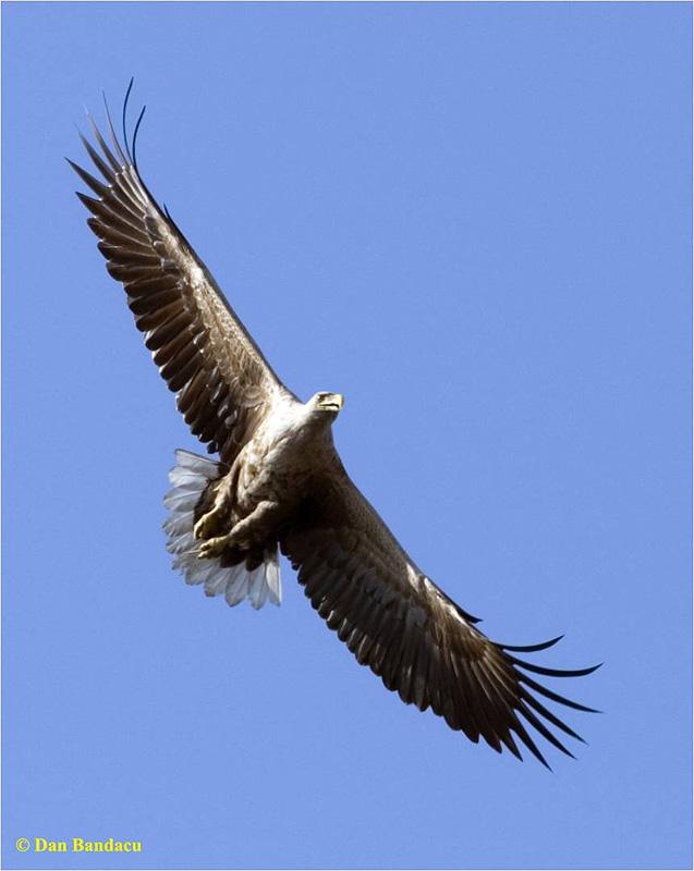 Dan din Delta Dunării: CODALBUL - THE WHITE-TAILLED EAGLE