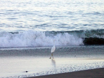 Santa Cruz birds, birds that hang out at beach
