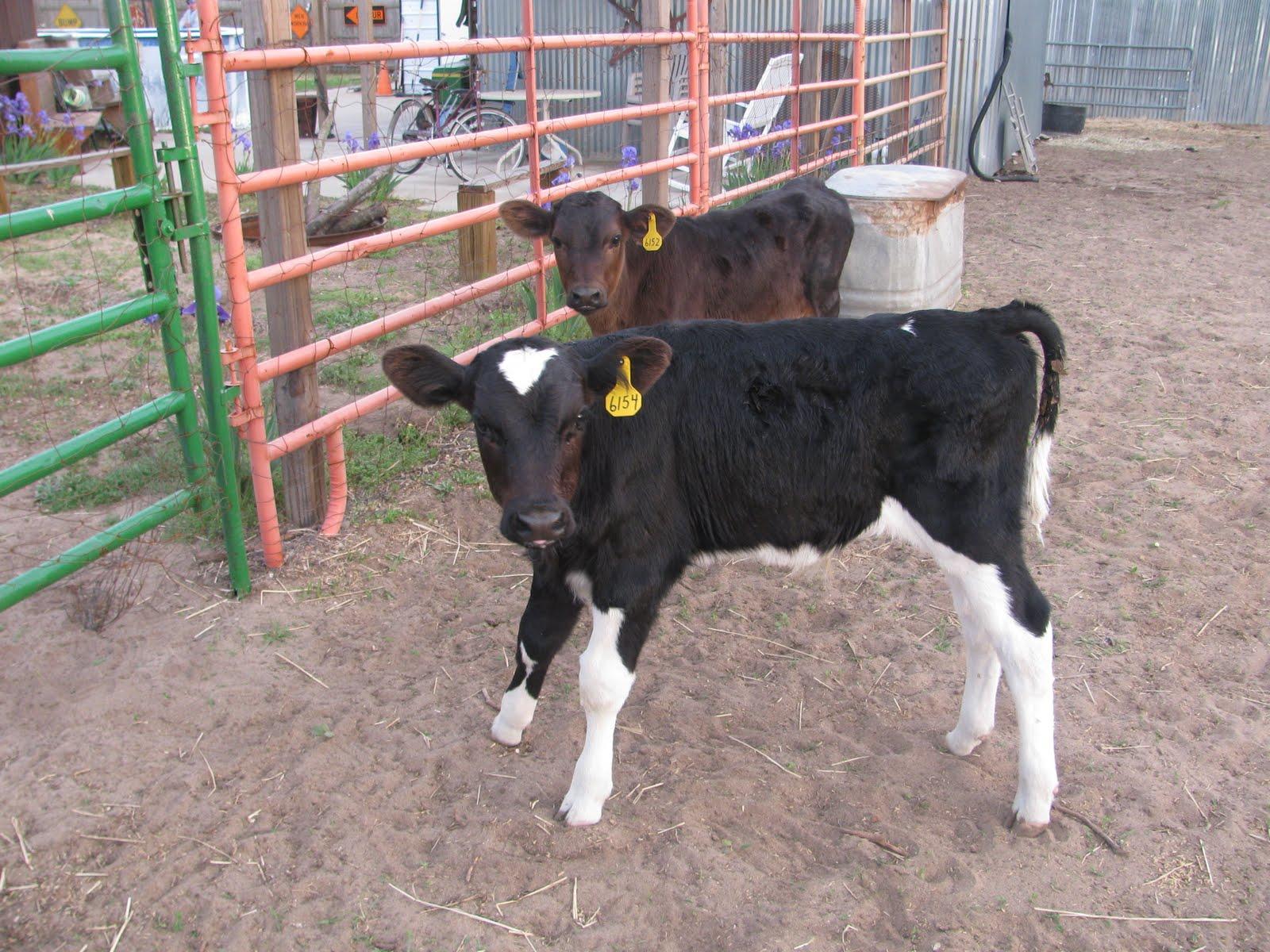 Barn Creations: Bottle Baby Calves